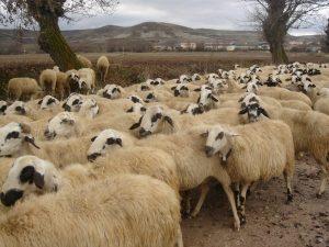 כבשים לבנות
