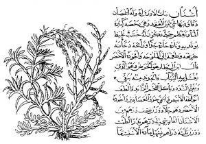 "The ""ashnan"" plant, apparently Salicornia europaea, used in producing cleaning materials, from an Arabic treatise from the fourteenth century."