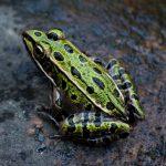 מחקרי ישראל הקדומה- צפרדע