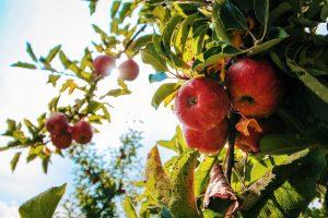מחקרי ישראל הקדומה- עץ התפוח